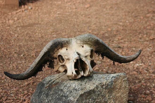 buffalo-skull-1360852
